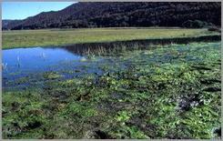 Pascolo paludoso habitat ideale per lo sviluppo di Fasciola hepatica.