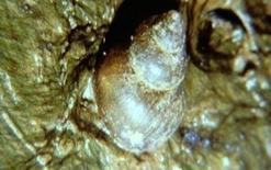 Molluschi ospiti intermedi di Fasciola hepatica.