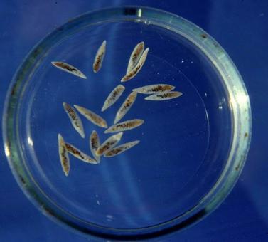 Esemplari adulti di Dicrocoelium dendriticum isolati da un fegato ovino.