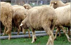 Gruppo di ovini parassitati.