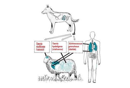 Rappresentazione schematica del ciclo biologico di Echinococcus granulosus e di altri cestodi del cane agenti di zoonosi.