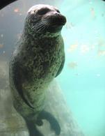 Foca in immersione (Immagine da Wikipedia)