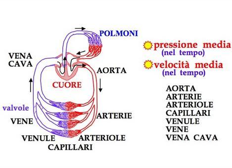 Schema del sistema circolatorio umano. La pressione e la velocità del sangue hanno un andamento temporale impulsato, ma sono considerate le medie temporali di questi andamenti. (da INFN)