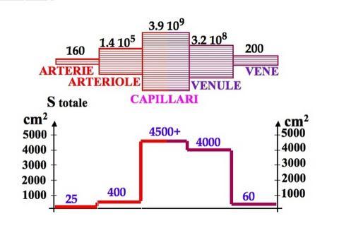 Numero e sezione totale dei vari vasi  del sistema circolatorio umano (da INFN)
