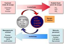 Relazioni energetiche tra vie anaboliche e vie cataboliche