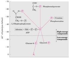 Energie libere standard dei composti fosforilati