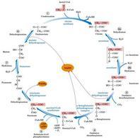 Sequenza di reazioni del ciclo di Krebs