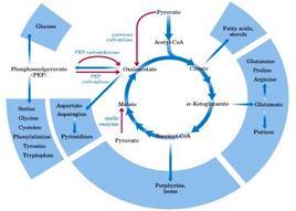 Intermedi del ciclo di Krebs