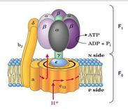 ATP sintasi