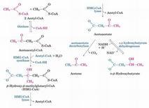 Formazione dei corpi chetonici dall'Acetil-CoA