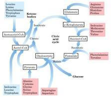Ingresso degli amminoacidi nel ciclo di Krebs