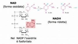 Figura 1. Struttura del NAD (NADP)