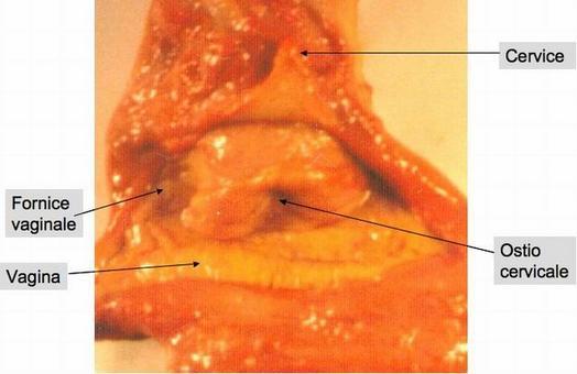 Fornice vaginale (cavalla)