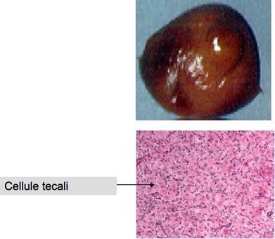 Corpo luteo: Tessuto solido formato da cellule tecali che originano sia dalla granulosa che dal follicolo di Graaf