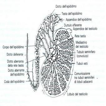 E' costituito dai tubuli seminiferi e dai dotti che ne derivano