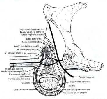 Equino: ovoidali in posizione quasi orizzontale