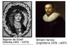 Fonti: Regnier de Graaf (Olanda,1641 –1673), William Harvey  (Inghilterra 1578 –1657).