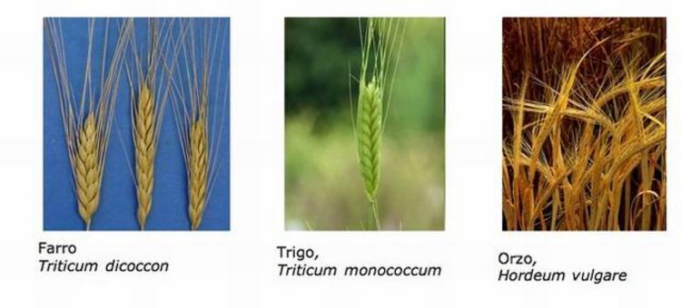 """Le prime 8 colture agricole dette """"fondatrici"""" del Paleolitico: 3 cereali. Farro, Trigo, Orzo. Fonte: Wikipedia"""