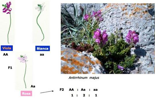 Disegni fiori fonte: Saccone; Antirrhinum_majus Fonte: wikipedia