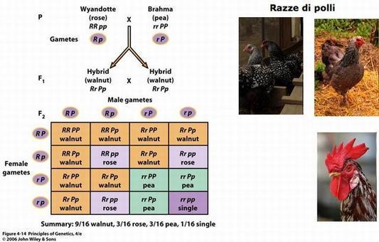 Principi di Genetica. Snustad, Simmons. 2008 Edises. A destra Razze di polli. Fonte Wikipedia