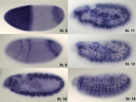 Ibridazione in situ per seguire l'espressione di hunchback su embrioni di Drosophila. Fonte: Wikipedia