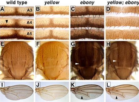 Esempi di fenotipi. Fonte: Molbio.wisc.edu