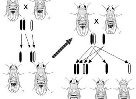 Scoperta del gene white localizzato sul cromosoma X di Drosophila. Fonte: Wikimedia