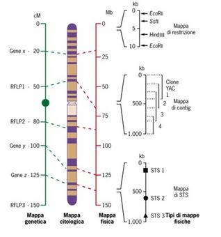 Correlazione tra mappe genetica, citologica e fisica. Da Principi di Genetica, Snustad/Simmon. Edises