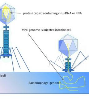Il batteriofago inietta il suo genoma nel batterio e lo utilizza per produrre progenie fagica. Fonte: Wikipedia