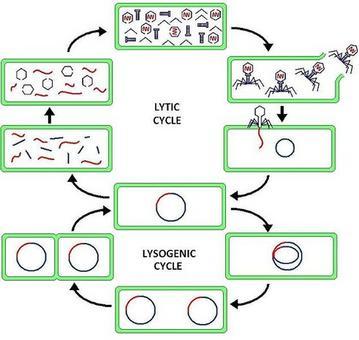 Ciclo litico e lisogenico