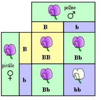 Il concetto mendeliano di gene: dominanza e recessività. Il gene come unità imperturbabile di trasmissione del tratto, non miscibile. Fonte: wikipedia
