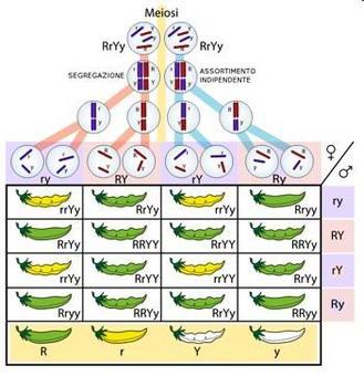 Il concetto mendeliano di gene: assortimento indipendente. Il gene libero di assortire rispetto ad altri geni. Fonte: wikipedia