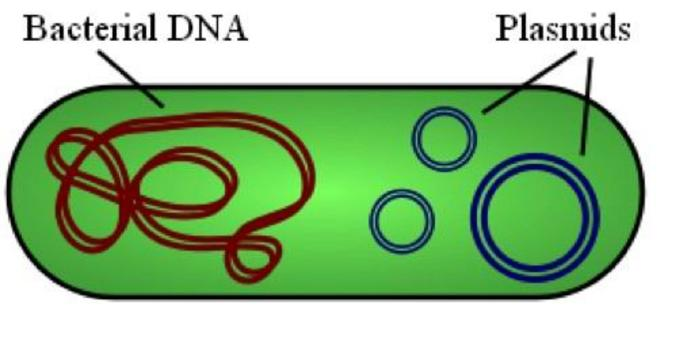 Trasformazione di batteri competenti. Fonte wikipedia