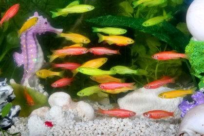 Zebrafish transgenici fluroescenti. Fonte wikipedia