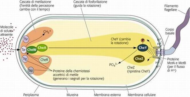 """Meccanismo molecolare della Chemiotassi in E. coli. Immagine modificata da """"Brock Biologia dei microrganismi"""" di Madigan et al.. Casa Editrice Ambrosiana."""