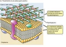 """La Parete Cellulare dei Batteri Gram positivi. Immagine modificata da """"Brock Biologia dei microrganismi"""" di Madigan et al.. Casa Editrice Ambrosiana."""