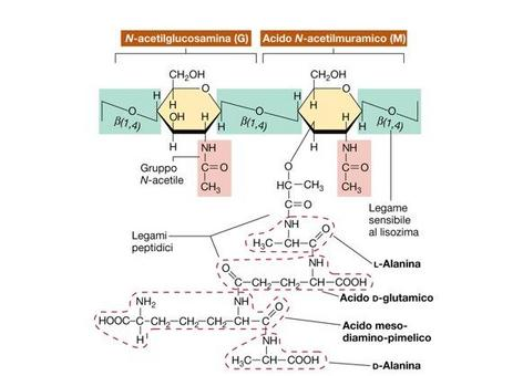 """Peptidoglicano di un batterio Gram negativo. Immagine modificata da """"Brock Biologia dei microrganismi"""" di Madigan et al.. Casa Editrice Ambrosiana."""