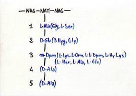 Catena peptidica del peptidoglicano. In parentesi sono citati gli aminoacidi che possono sostituire più frequentemente quelli indicati nel polipeptide.