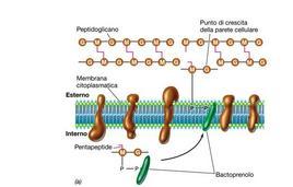 """Trasporto dei precursori del peptidoglicano attraverso la membrana citoplasmatica fino ad un punto di crescita della parete. Immagine modificata da """"Brock Biologia dei microrganismi"""" di Madigan et al.. Casa Editrice Ambrosiana."""