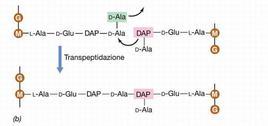 """La reazione di transpeptidazione implica il legame di due catene peptidoglicaniche. Immagine modificata da """"Brock Biologia dei microrganismi"""" di Madigan et al.. Casa Editrice Ambrosiana."""