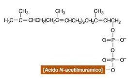 """Il Bactoprenolo, anche detto undecaprenolo pirofosfato, con attaccato un acido N-acetilmuramico.  Immagine modificata da """"Brock Biologia dei microrganismi"""" di Madigan et al.. Casa Editrice Ambrosiana."""