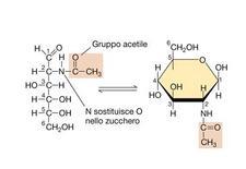 """Struttura dell'N-acetilglucosamina. Immagine modificata da """"Brock Biologia dei microrganismi"""" di Madigan et al.. Casa Editrice Ambrosiana."""