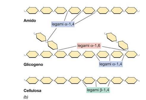 """Struttura di alcuni più comuni polisaccaridi. Immagine modificata da """"Brock Biologia dei microrganismi"""" di Madigan et al.. Casa Editrice Ambrosiana."""