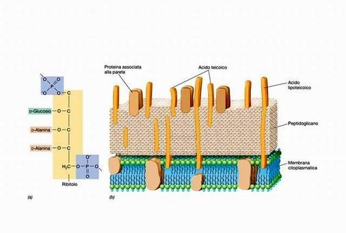 """Acidi teicoici e struttura complessiva della parete cellulare dei Gram positivi, in a è rappresentata la struttura dell'acido ribitol-teicoico. Immagine modificata da """"Brock Biologia dei microrganismi"""" di Madigan et al.. Casa Editrice Ambrosiana."""