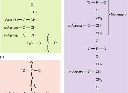 """Acido teicoico: a) poliribitolo, b) e c) poliglicerolo. Immagine modificata da """"Brock Biologia dei microrganismi"""" di Madigan et al.. Casa Editrice Ambrosiana."""