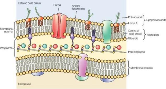 """Struttura della membrana esterna di un batterio gram-negativo. Si osservi, con particolare attenzione , il periplasma. Immagine modificata da """"Brock Biologia dei microrganismi"""" di Madigan et al.. Casa Editrice Ambrosiana."""