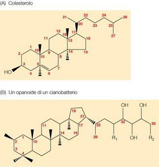 """Struttura del colesterolo in a, e di un opanoide in b. Immagine modificata da """"Brock Biologia dei microrganismi"""" di Madigan et al.. Casa Editrice Ambrosiana."""