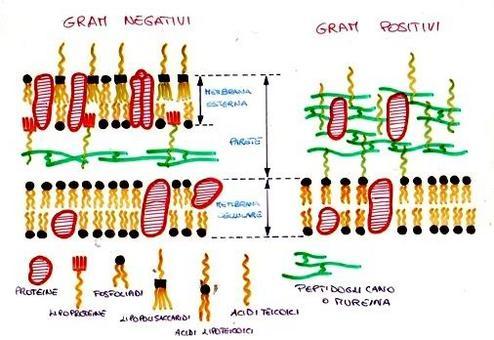 Esemplificazione macroscopica che illustra le principali differenze tra parete e membrane nei batteri Gram- e nei batteri Gram+.