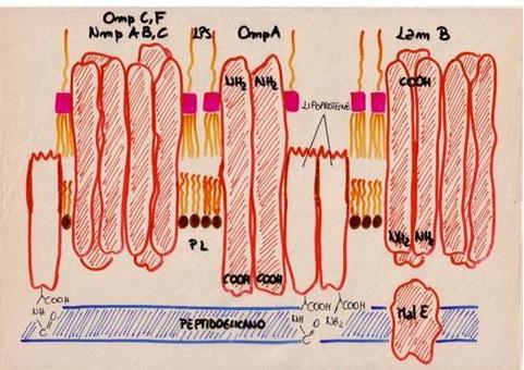 Struttura della parete dei batteri Gram -, in cui si è dato particolare risalto alla membrana esterna.