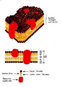 Struttura della membrana citoplasmatica.